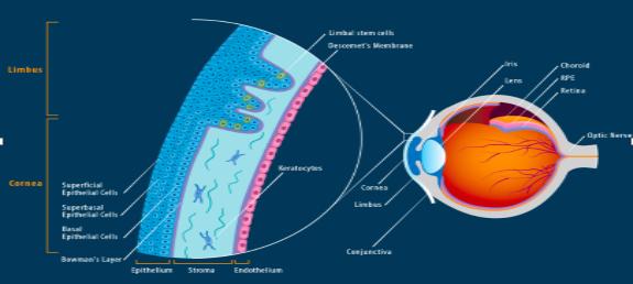 Cornea & Limbus